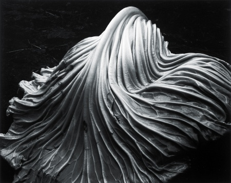Edward Weston, Cabbage Leaf, 1931