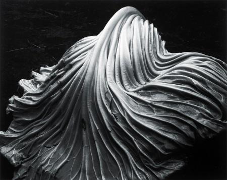 Edward Weston, Cabbage Leaf, 1931